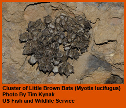Little Brown Bat cluster